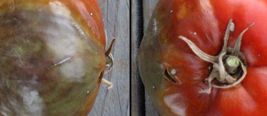 Cul noir de tomate